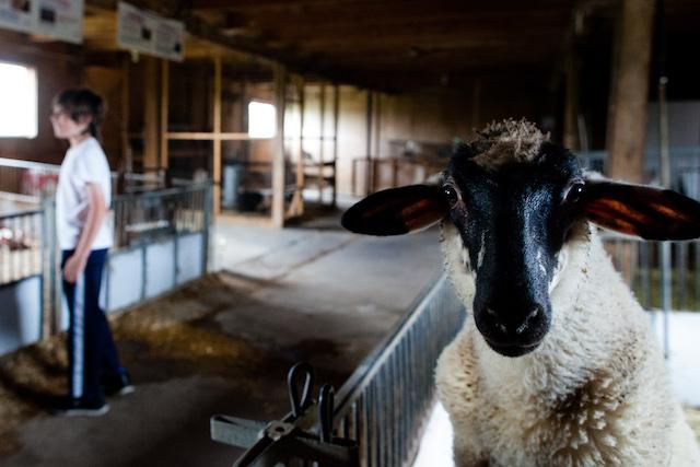 Quebec Farm Sheep (photo Jeff Sonnabend)
