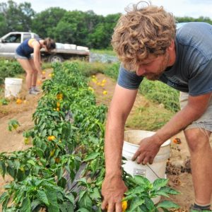 Tobin Porter-Brown, founder and owner of Book and plow Farm in Amherst, picks Peppers at the farm Thursday with Annabelle Gary in the background, an Amherst College student.